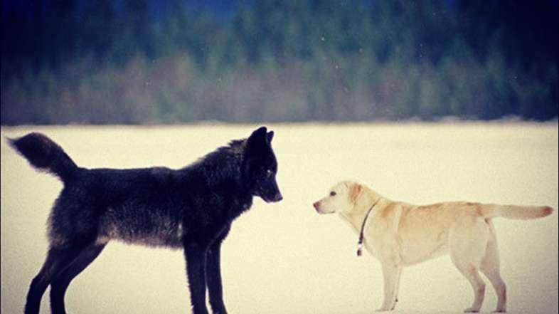 L'homme : être un loup ou un chien ? (partie I)